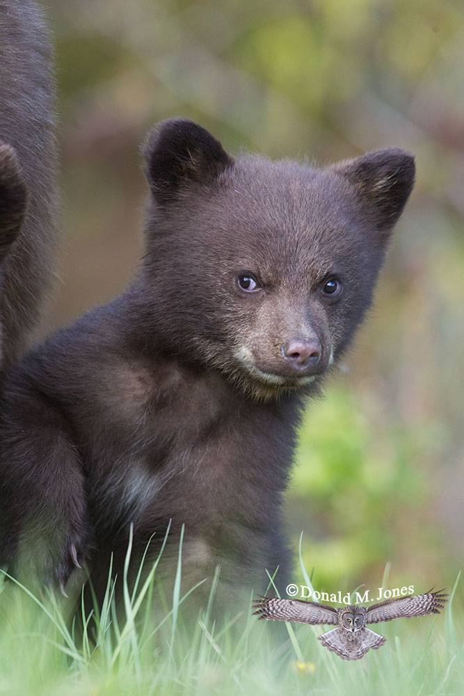 Black-Bear05077D