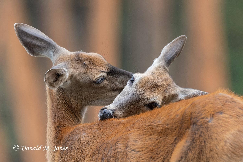 Whitetail-Deer63395D
