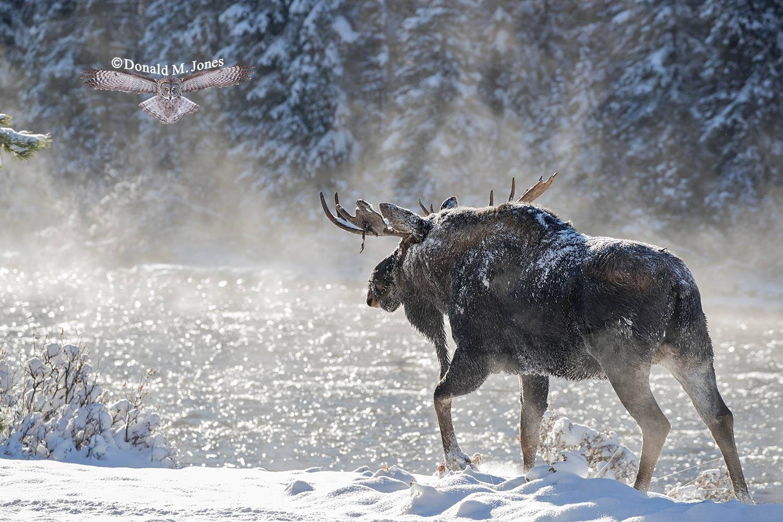 Moose06733D