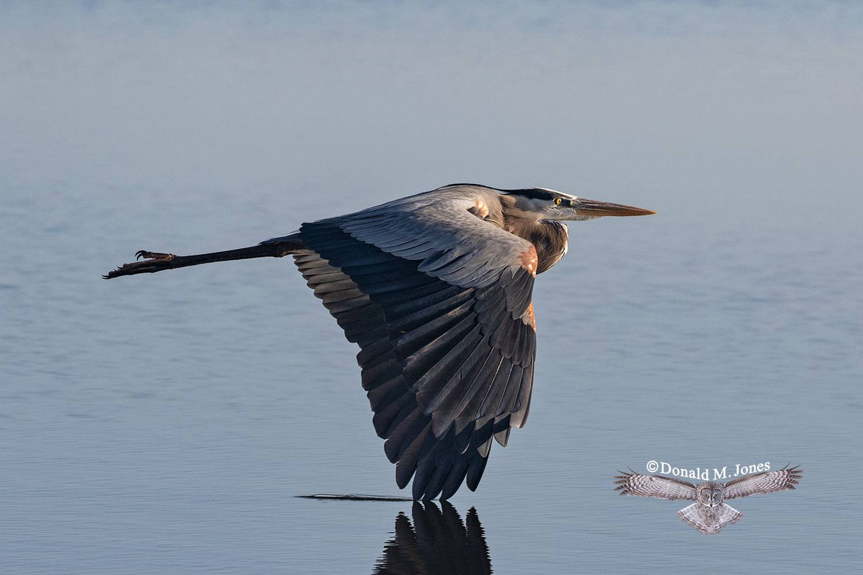 Great-Blue-Heron0861D