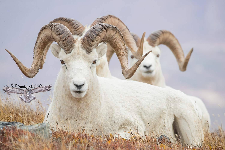 Dall-Sheep02224D