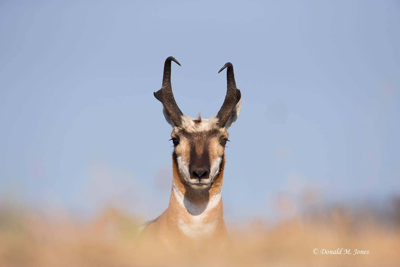 Pronghorn-Antelope04115D