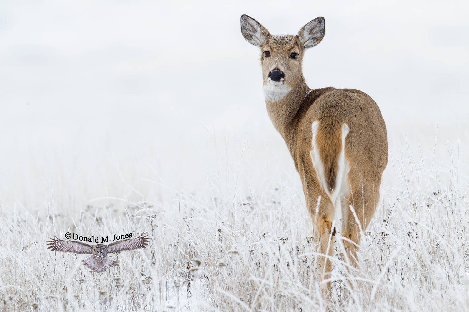 Whitetail-Deer55174D