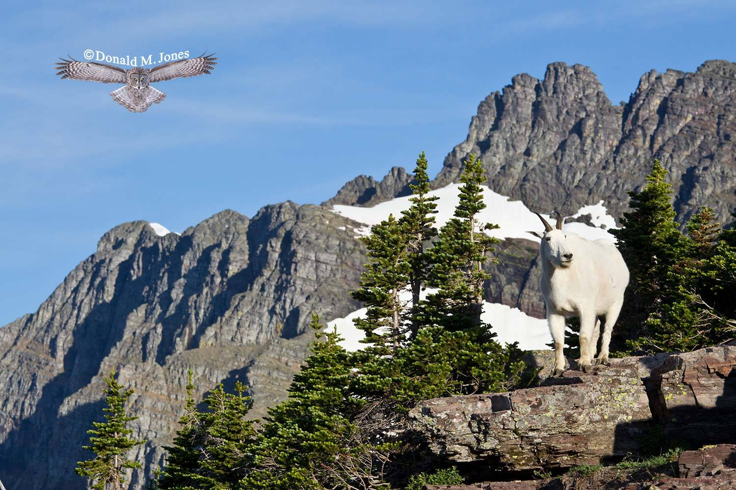 Mountain-Goat02391D