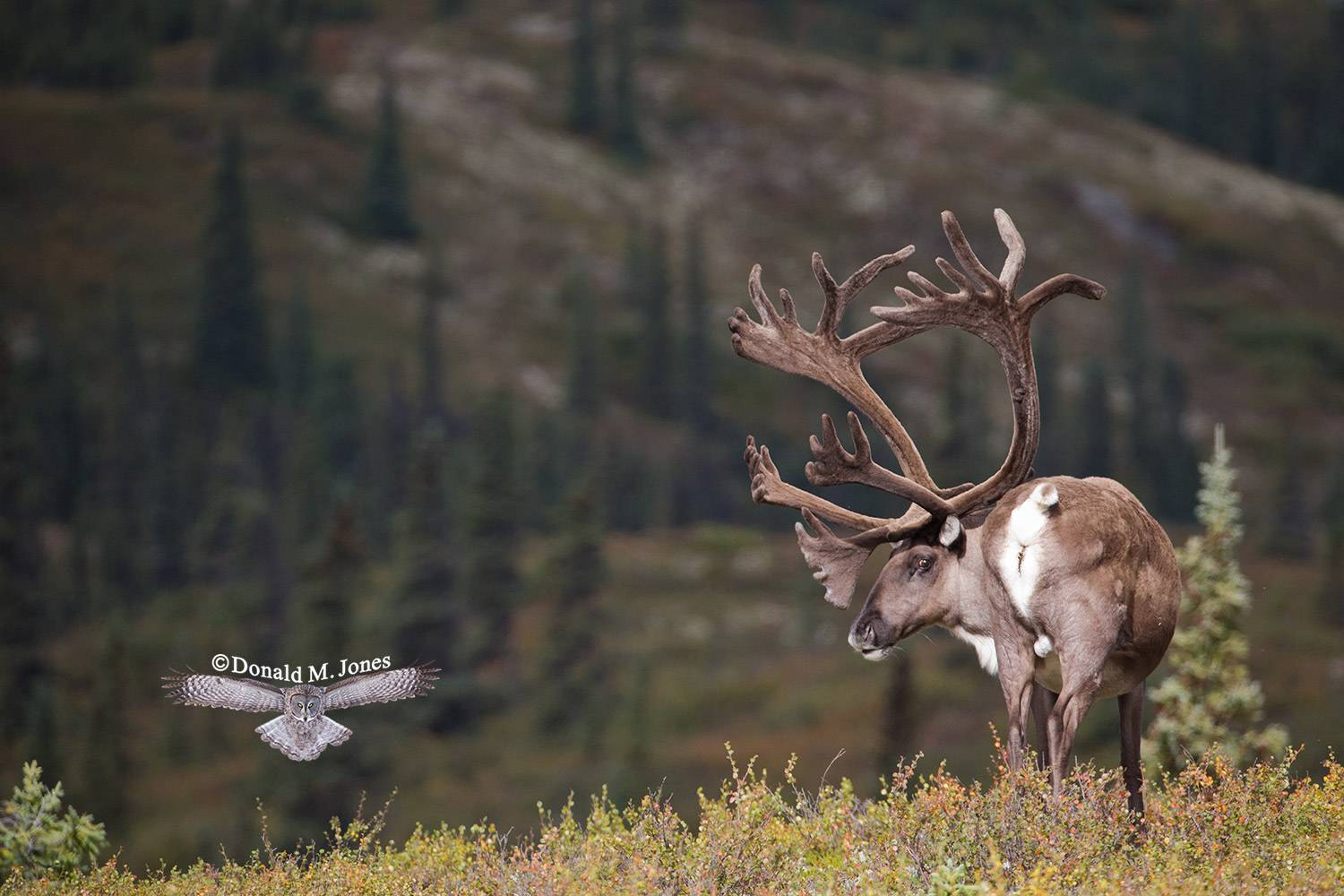 Barren-Ground-Caribou03365D