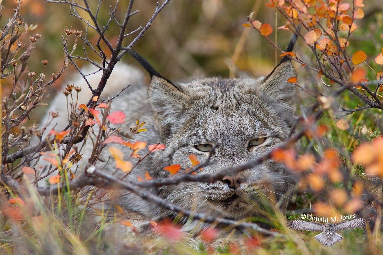Canadian-Lynx0127D