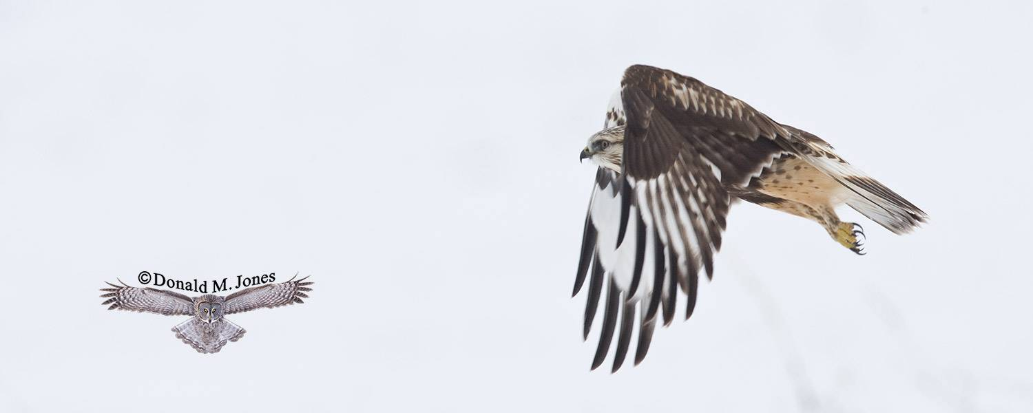 Rough-legged-Hawk0065D
