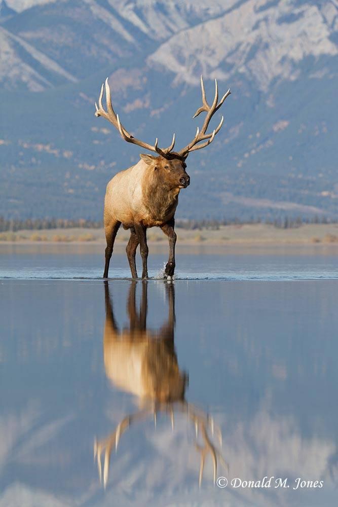 Elk-(Rocky-Mtn)22458D