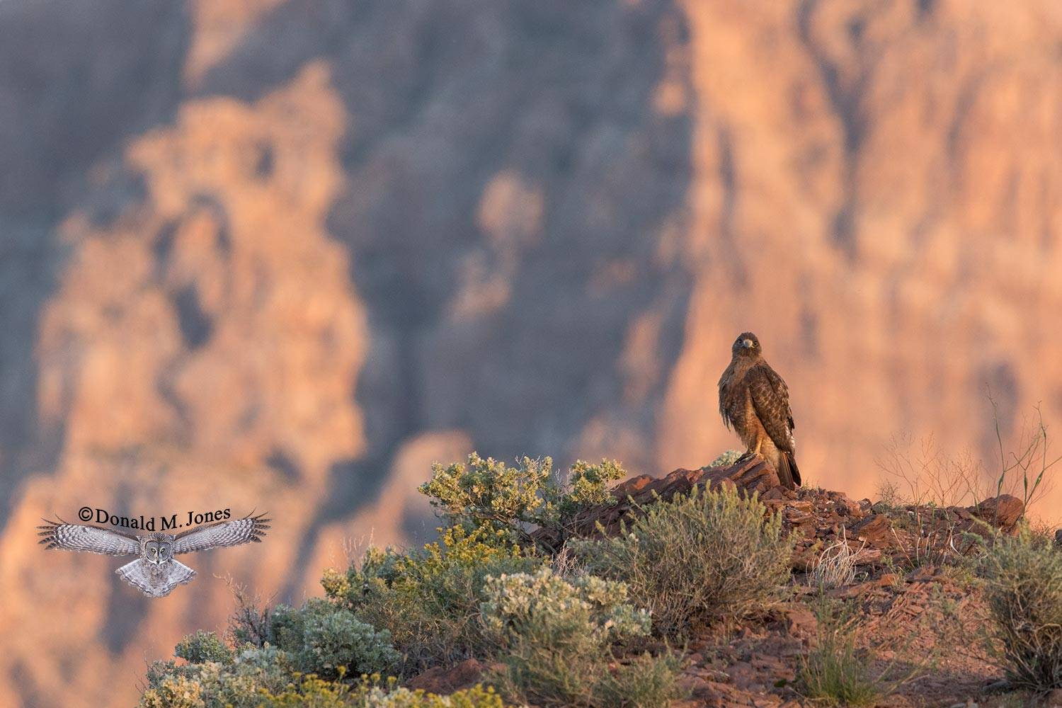 Red-tailed-Hawk0445D