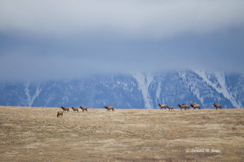 Elk-(Rocky-Mtn)19304D