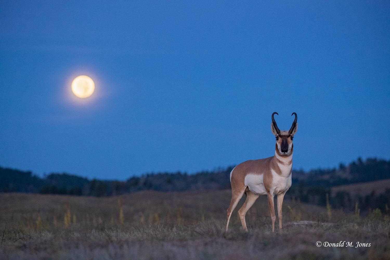 Pronghorn-Antelope5700D