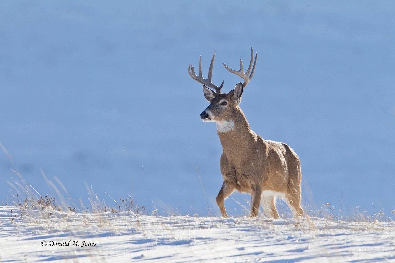 Whitetail-Deer52200D
