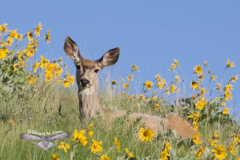 Mule-Deer07176D