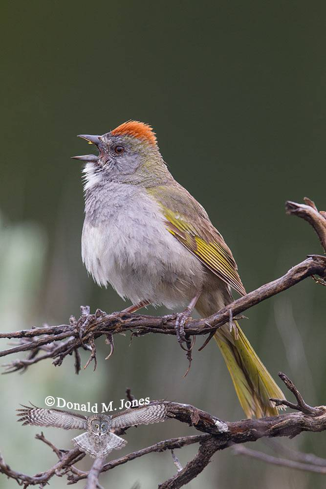 Green-tailed-Towhee0162D