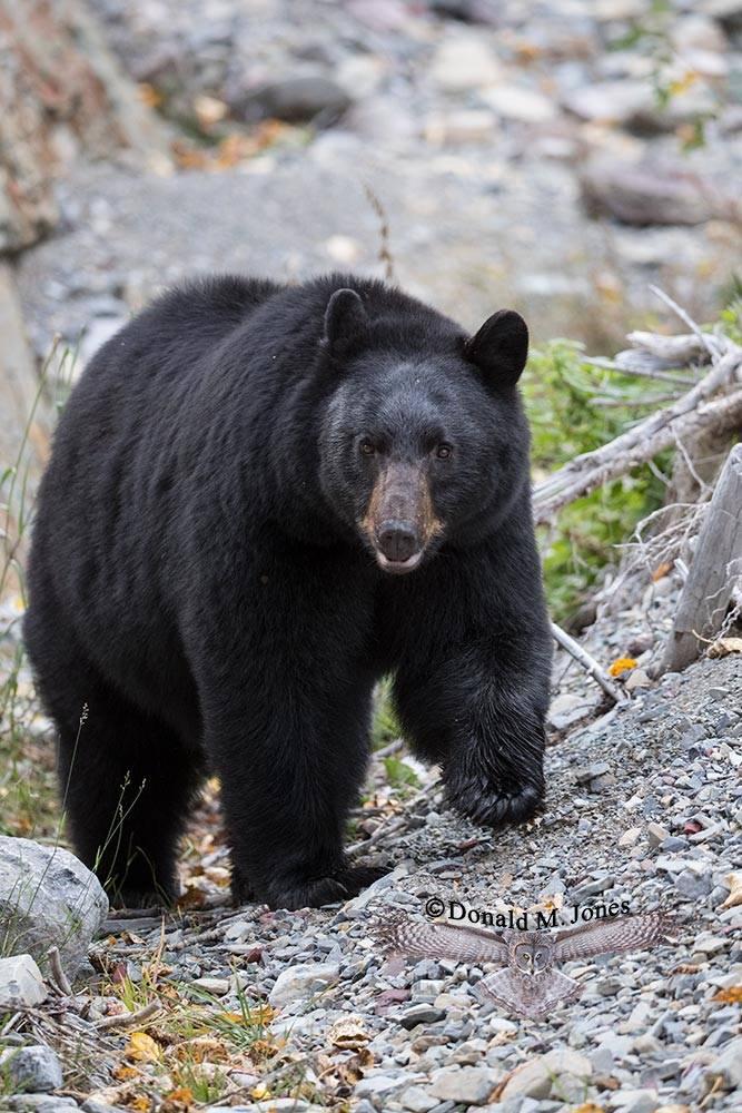 Black-Bear07914D