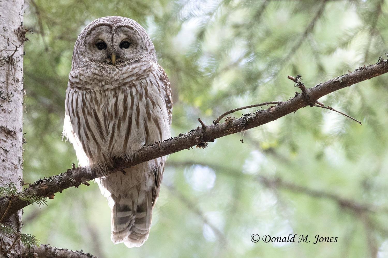 Barred-Owl0249D