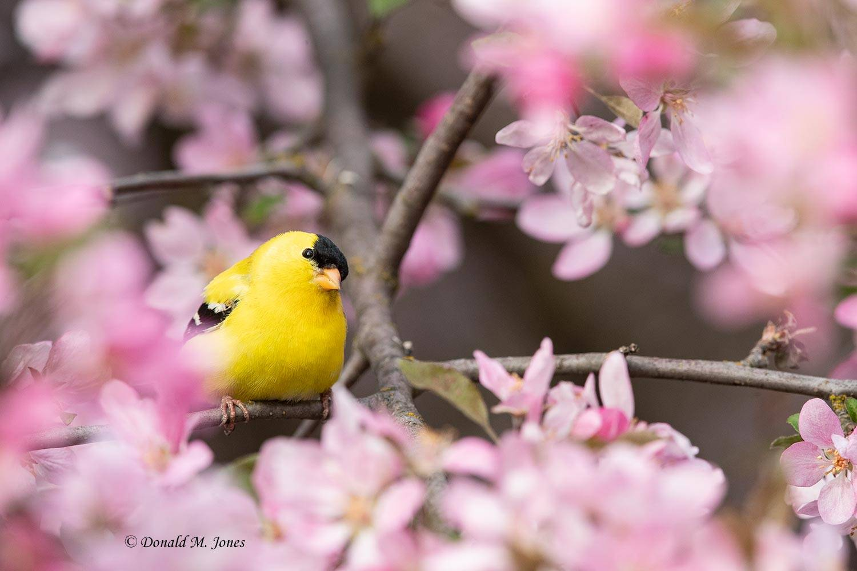American-Goldfinch0236D