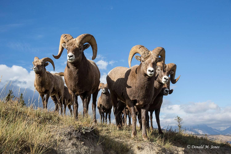 Bighorn-Sheep05389D