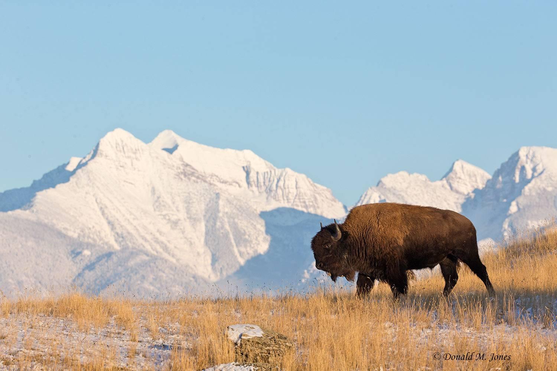 American-Bison01873D