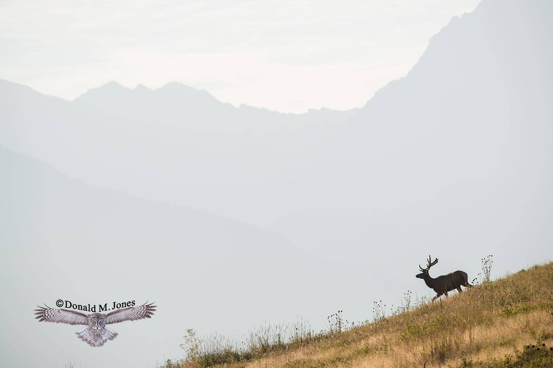 Elk-(Rocky-Mtn)25501D