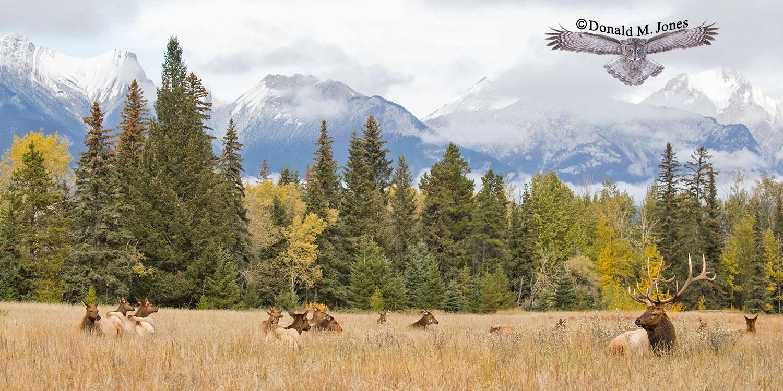 Elk-(Rocky-Mtn)26216D