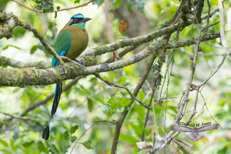 Blue-crowned-Motmot0108D