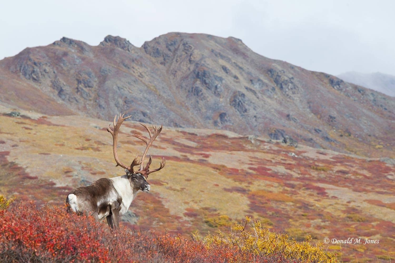 Barren-Ground-Caribou02546D