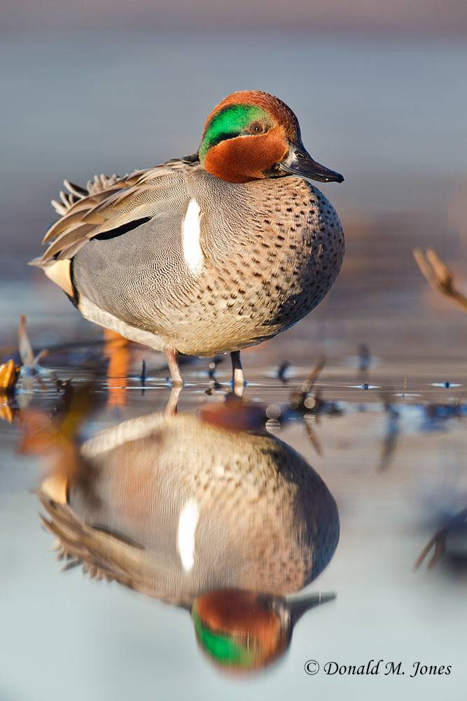 Green-wing-Teal0256D