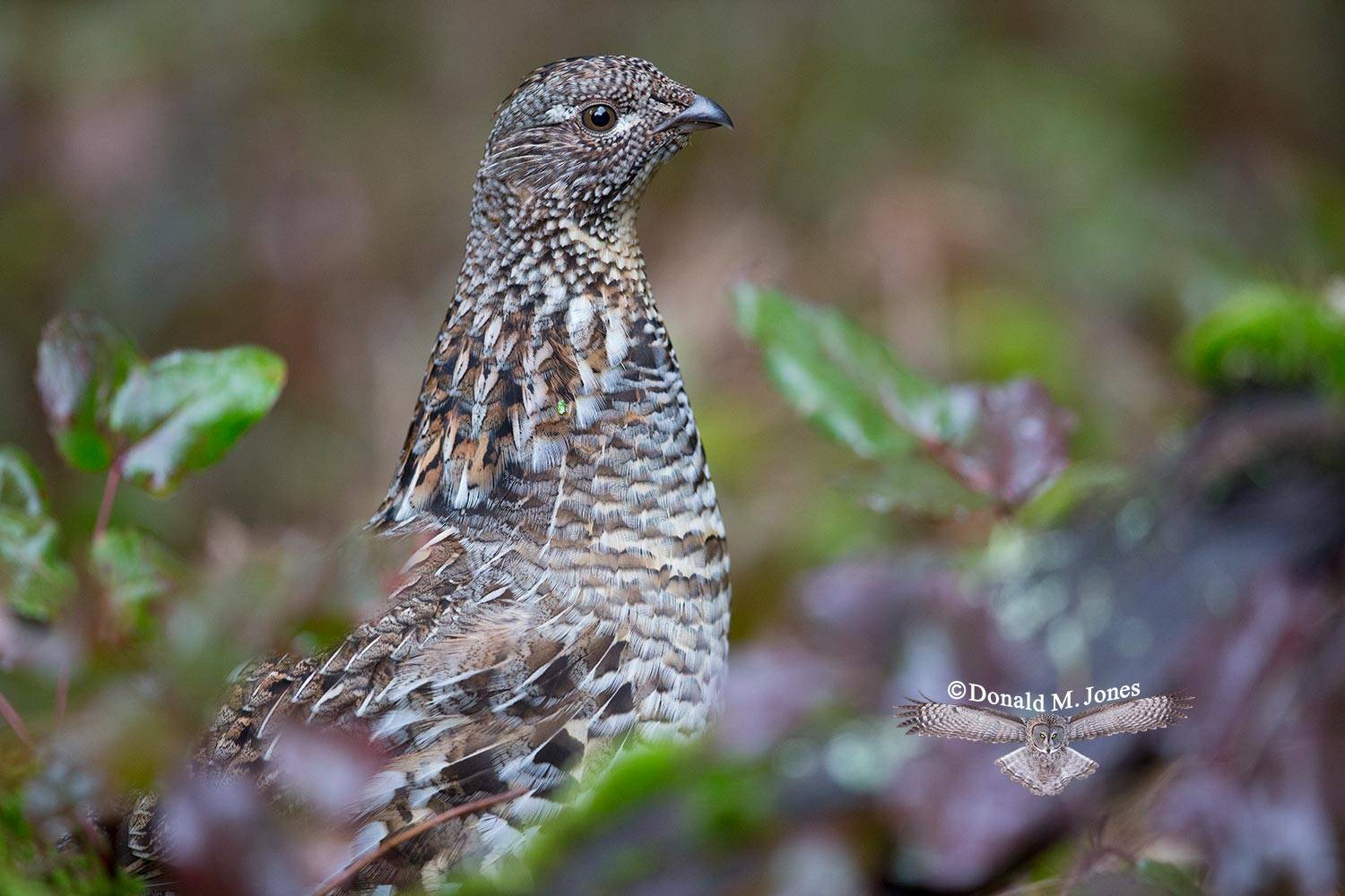 Ruffed-Grouse0342D
