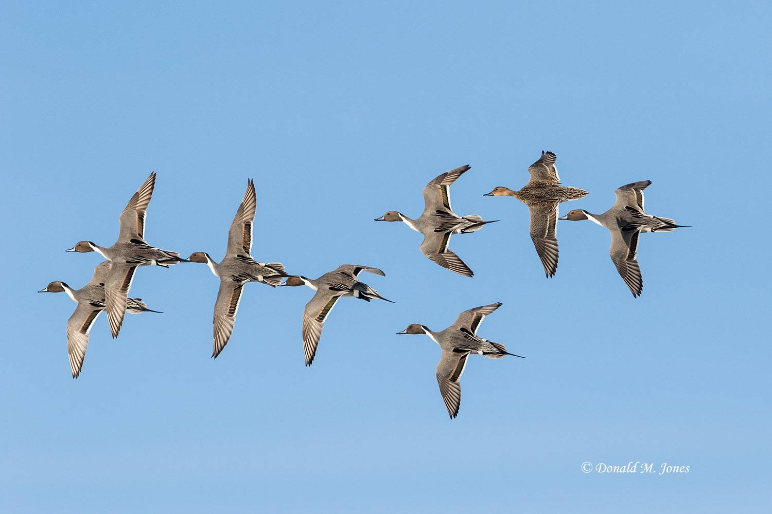 Northern-Pintail2196D