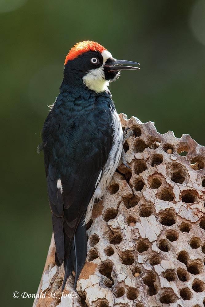 Acorn-Woodpecker0136D