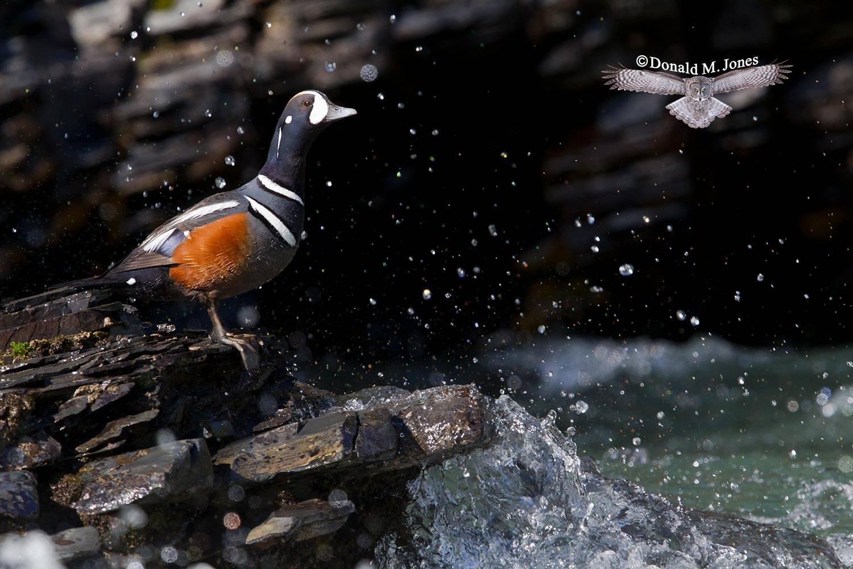 Harlequin-Duck0472D