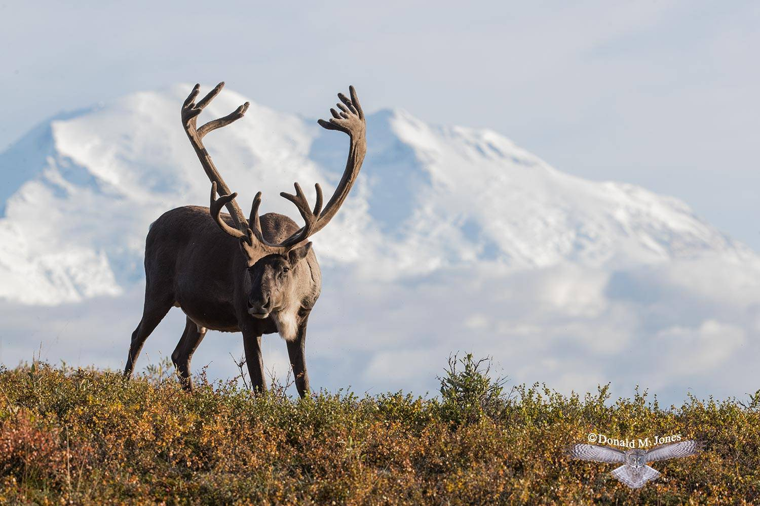 Barren-Ground-Caribou03864D