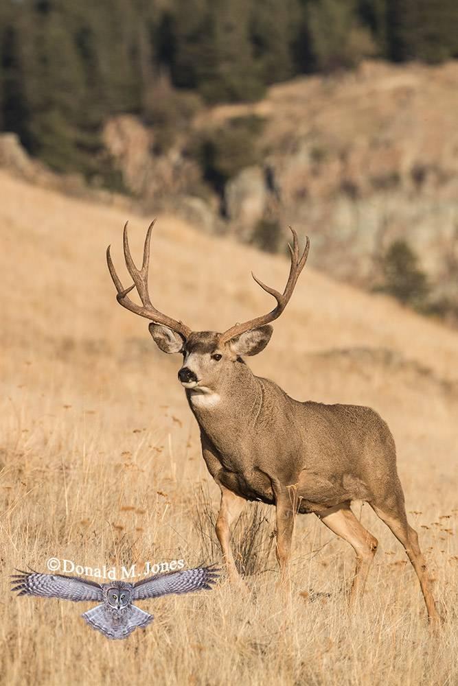 Mule-Deer10746D