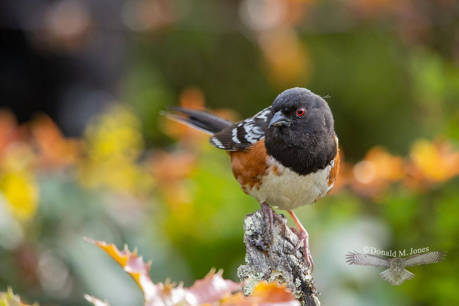 May 1 Spotted Towhee