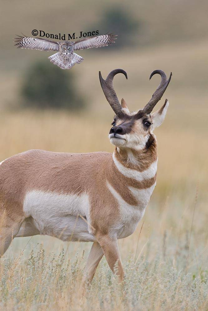 Pronghorn-Antelope03234D
