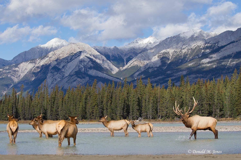 Elk-(Rocky-Mtn)21892D