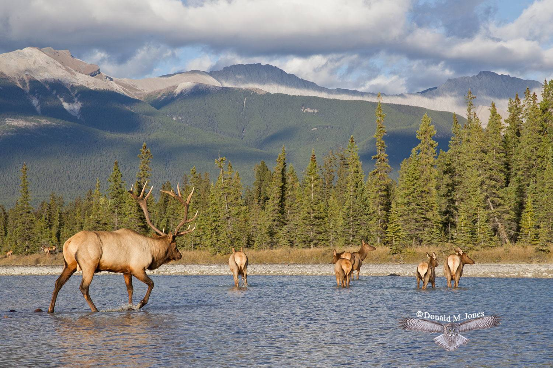Elk-(Rocky-Mtn)21136D