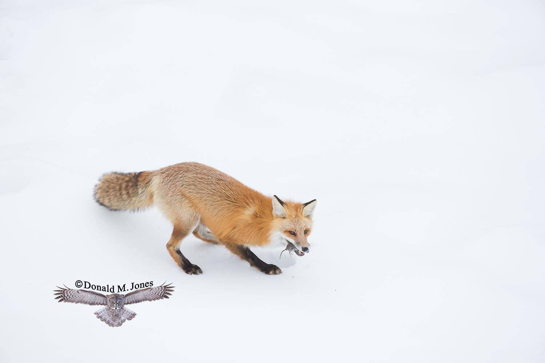 Red-Fox1186D
