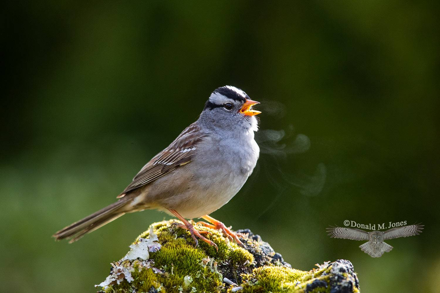 May 3 White-crowned Sparrow on a cold morning