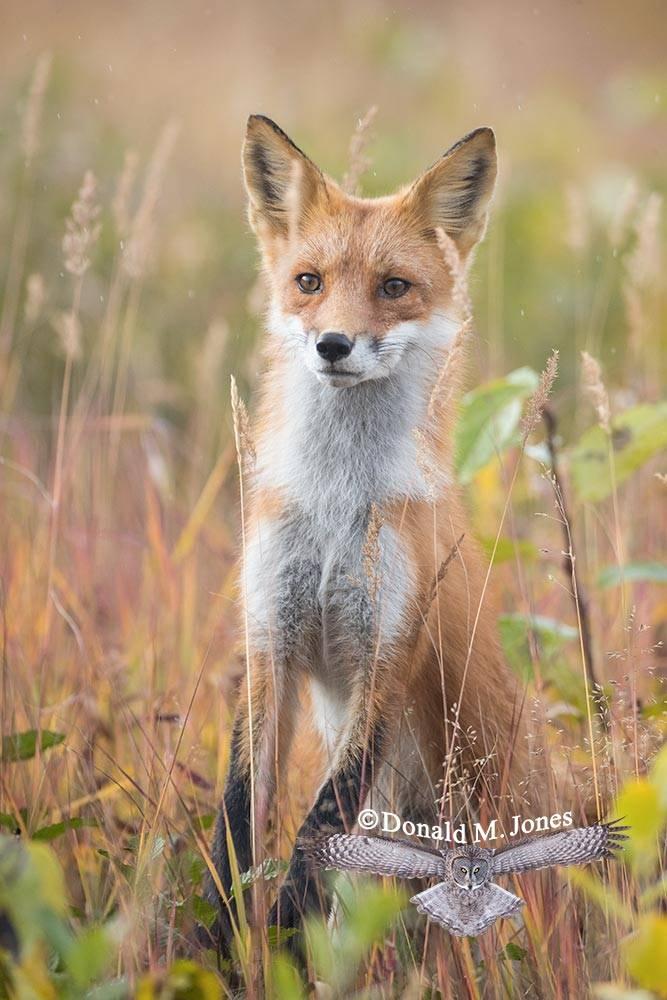 Red-Fox1276D