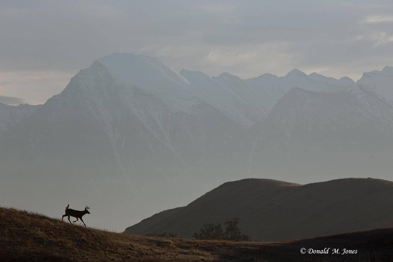 Whitetail-Deer52029D