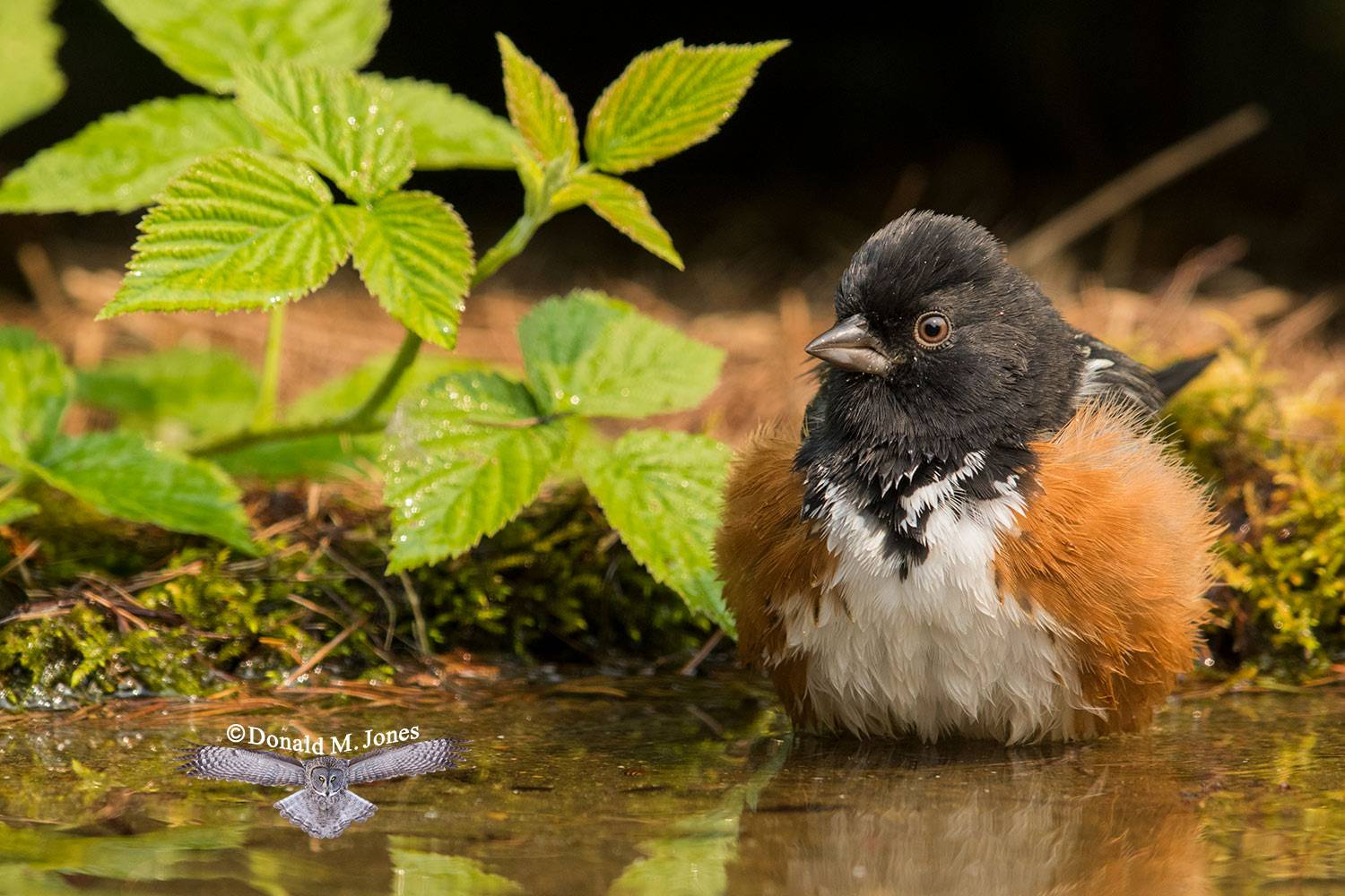 Spotted-Towhee0547D