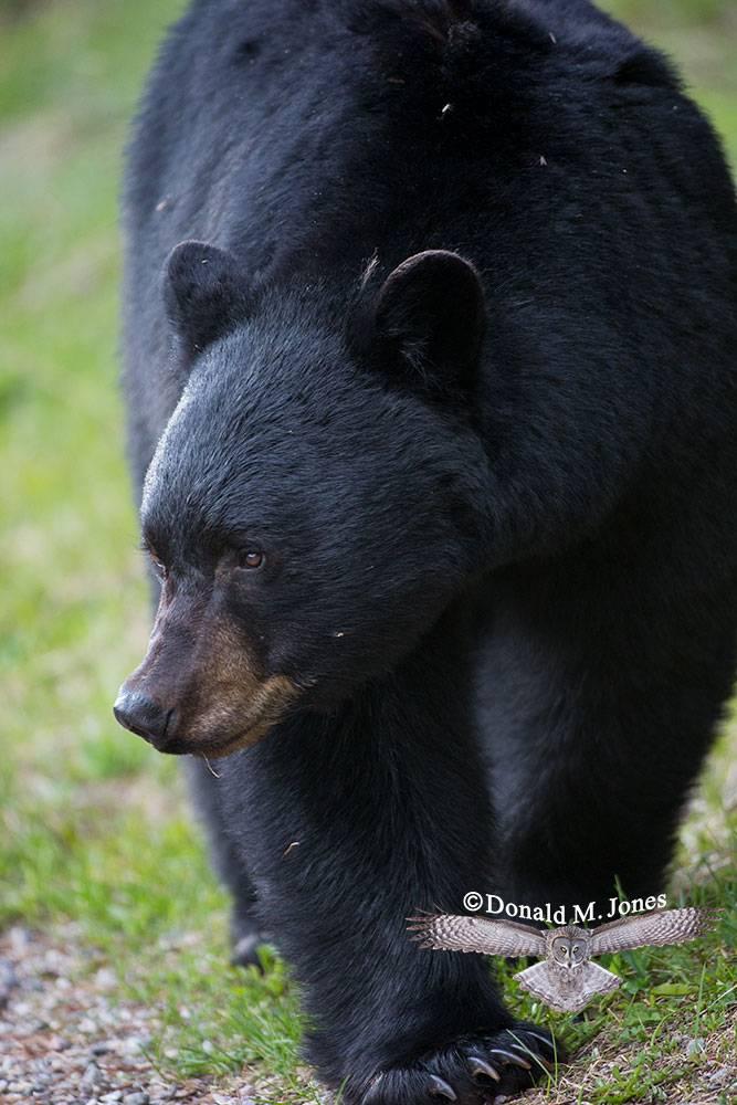 Black-bear06979D