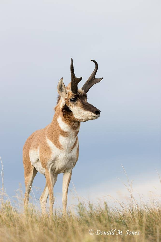 Pronghorn-Antelope05090D