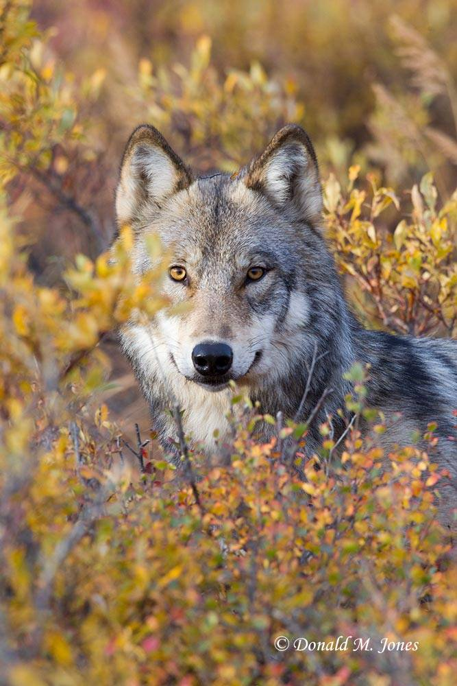 Wolf0580D
