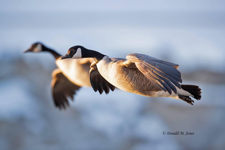 Canada-Goose1556D