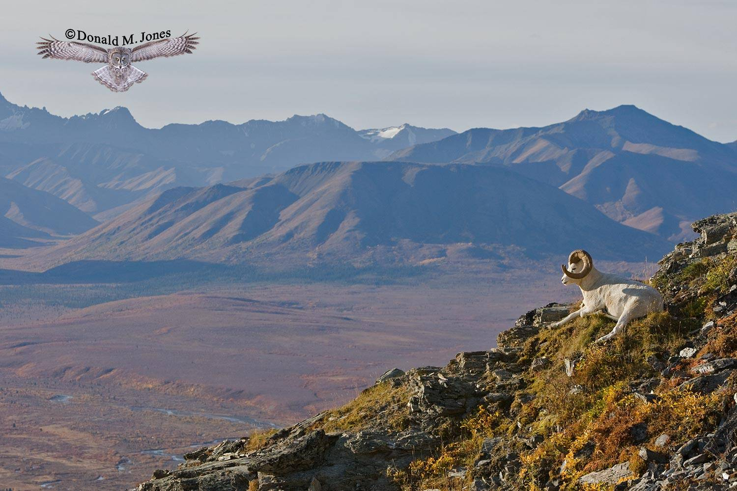 Dall-Sheep01199D