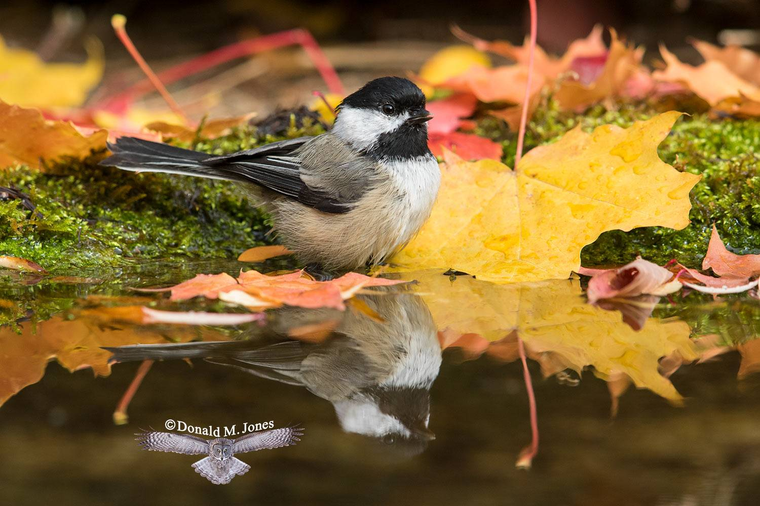 Black-capped Chickedee