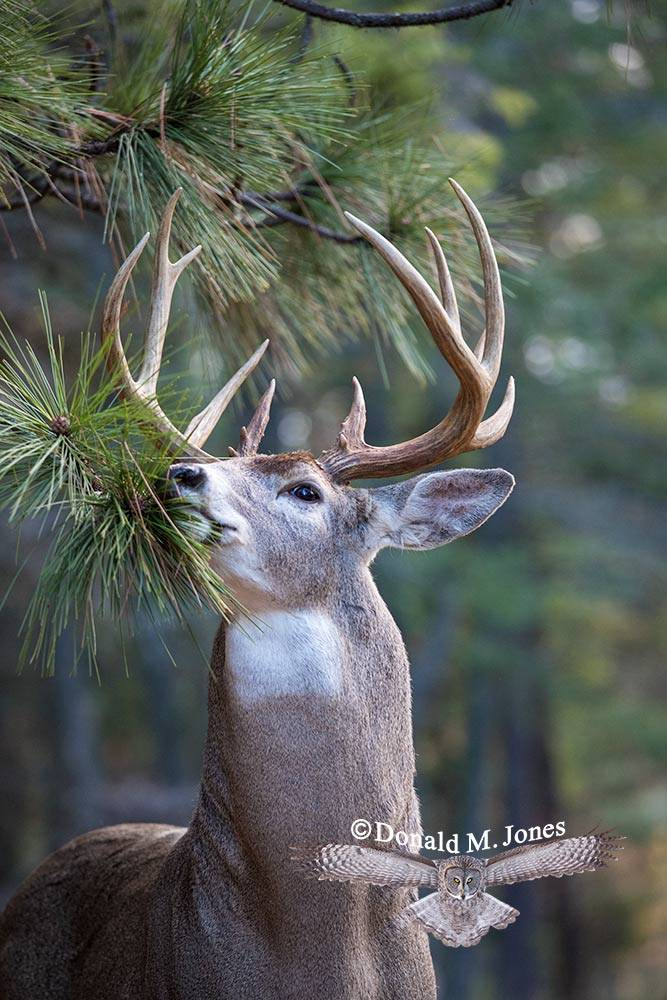 Whitetail-Deer53257D